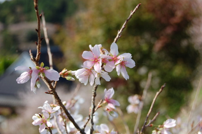 20111113obarashikisakura04