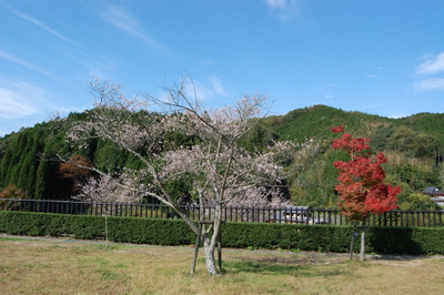 20111113obarashikisakura06