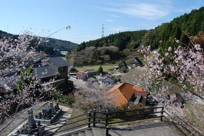 20111113obarashikisakura10