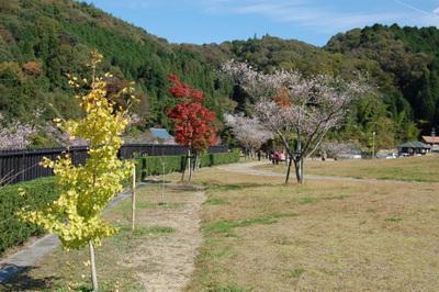 20111113obarashikisakura11