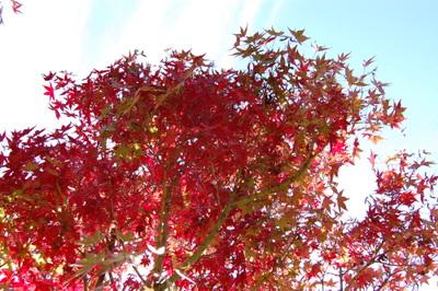 20111113obarashikisakura14