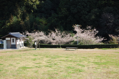 20111113obarashikisakura16
