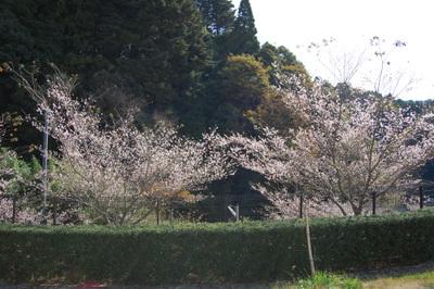 20111113obarashikisakura17