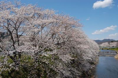 20120407sakura03