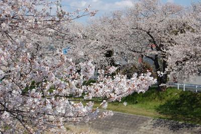20120407sakura06
