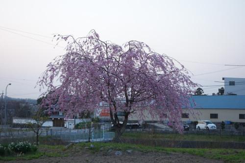 20150331sakura17
